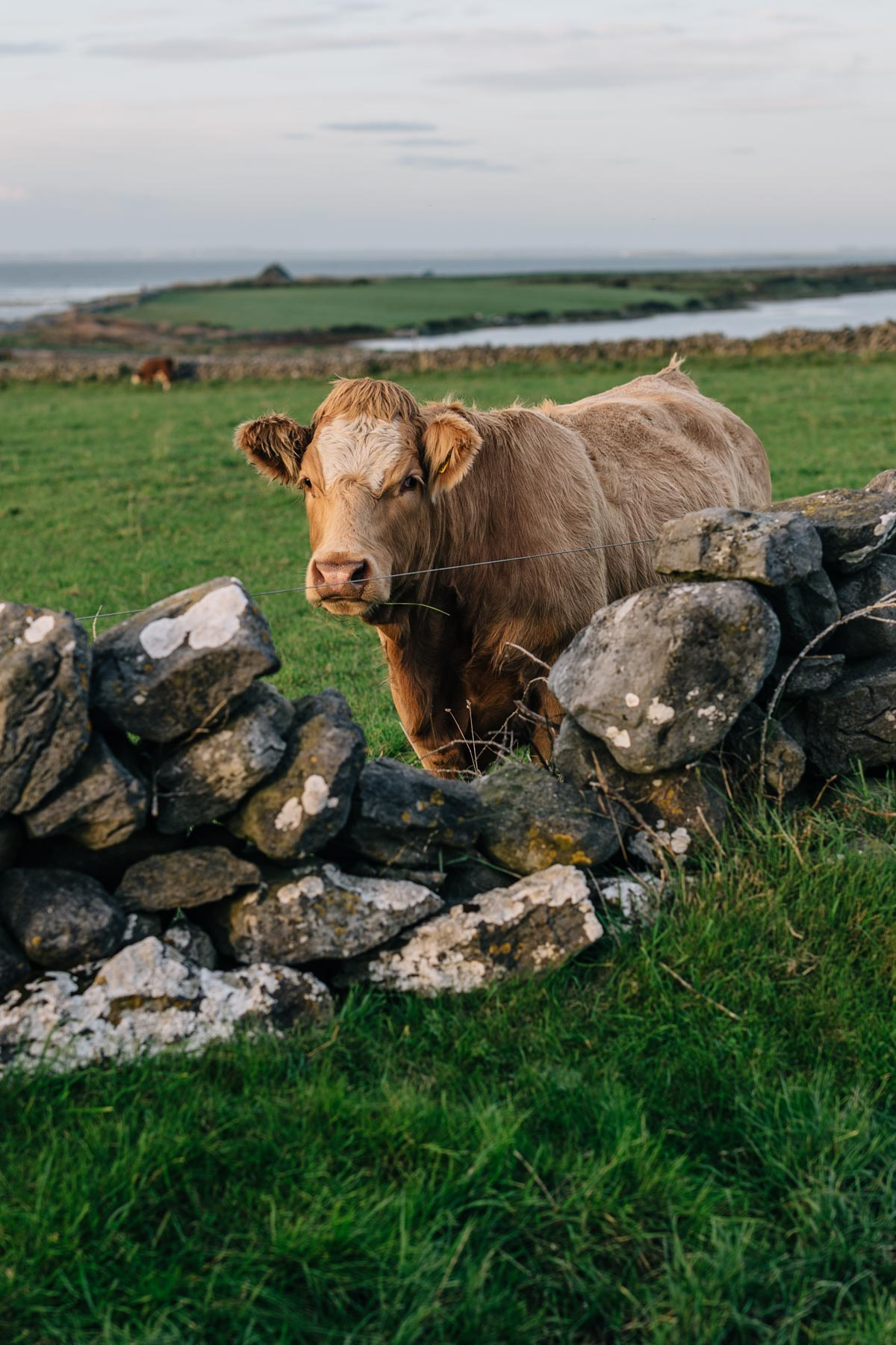 Cows in Ireland from Jess Ann Kirby's road trip on the Wild Atlantic Way